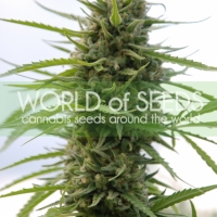 Kilimanjaro Regular Cannabis Seeds | World of Seeds