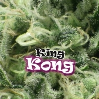 King Kong Feminised Cannabis Seeds | Dr Underground