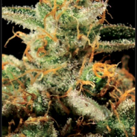King's Kush Feminised Cannabis Seeds | Green House Seeds