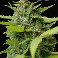 Kiss Dragon Feminised Cannabis Seeds