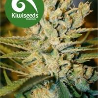 Alegria Regular Cannabis Seeds