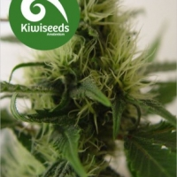 Daddy's Girl Feminised Cannabis Seeds