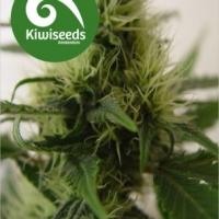Daddy's Girl Feminised Cannabis Seeds