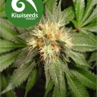 Hindu Kush Feminised Cannabis Seeds