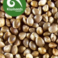 Indoor Mix Feminised Cannabis Seeds