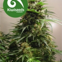 Kiwiskunk Feminised Cannabis Seeds