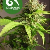 Mako Haze Feminised Cannabis Seeds