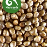 Outdoor Mix Feminised Cannabis Seeds | Kiwi Seeds