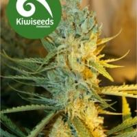 Ray's Choice Feminised Cannabis Seeds
