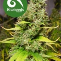White Island Feminised Cannabis Seeds