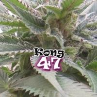 Kong 47 Feminised Cannabis Seeds | Dr Underground