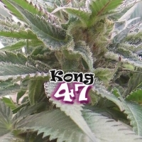 Kong 47 Feminised Cannabis Seeds | Dr Underground