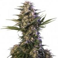 Kraken Feminised Cannabis Seeds   Buddha Seeds