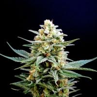 Kritikal K Feminised Cannabis Seeds