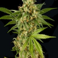 Kush 'N' Cheese Feminised Cannabis Seeds | Dinafem Seeds