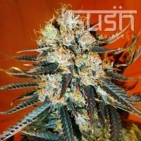Auto Kush Feminised Cannabis Seeds | Kush Seeds