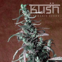 Haze Kush Regular Cannabis Seeds | Kush Seeds