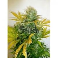 Kush Van Stitch Feminised Cannabis Seeds