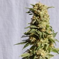 a Blanca Feminised Cannabis Seeds