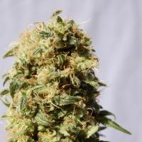 Kaboom (AKA La Reina De Africa) Feminised Cannabis Seeds | Kannabia
