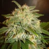 La Bella Afrodite Auto Feminised Cannabis Seeds | Delicious Seeds