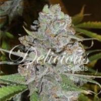 La Diva Auto Feminised Cannabis Seeds | Delicious Seeds