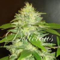 La Musa Auto Feminised Cannabis Seeds | Delicious Seeds