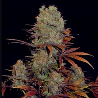 Landysh Feminised Cannabis Seeds