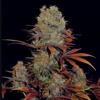 Landysh Feminised Cannabis Seeds