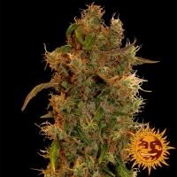 8 Ball Kush Feminised Cannabis Seeds | Barney's Farm