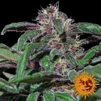 Ayahuasca Purple Feminised Cannabis Seeds   Barney's Farm