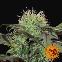 Bad Azz Kush Feminised Cannabis Seeds | Barney's Farm