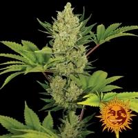Blue Cheese Auto Feminised Cannabis Seeds | Barney's Farm