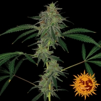 Blue Mammoth Auto Feminised Cannabis Seeds | Barney's Farm