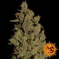 CBD Critical Cure Feminised Cannabis Seeds | Barney's Farm