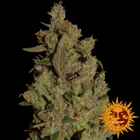 CBD Critical Cure Feminised Cannabis Seeds | Barney's Farm