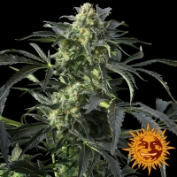 Crimea Blue Feminised Cannabis Seeds | Barney's Farm
