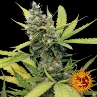 Honey B Feminised Cannabis Seeds | Barney's Farm