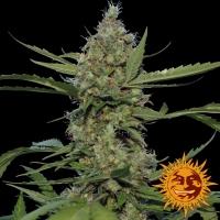 Laughing Buddha Feminised Cannabis Seeds   Barney's Farm