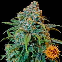 Liberty Haze Feminised Cannabis Seeds | Barney's Farm