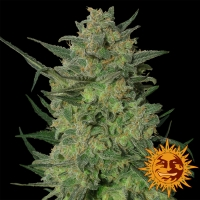 LSD Feminised Cannabis Seeds | Barney's Farm