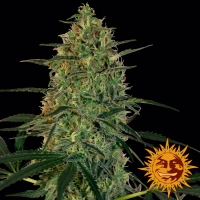 Malana Bomb Auto Feminised Cannabis Seeds   Barney's Farm