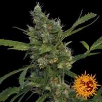 Morning Glory Feminised Cannabis Seeds | Barney's Farm