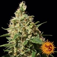 Peppermint Kush Feminised Cannabis Seeds | Barney's Farm