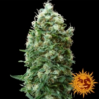 Phatt Fruity Feminised Cannabis Seeds | Barney's Farm