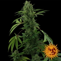 Pineapple Express Auto Feminised Cannabis Seeds | Barney's Farm