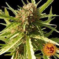 Red Cherry Berry Feminised Cannabis Seeds   Barney's Farm
