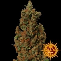 Red Diesel Feminised Cannabis Seeds | Barney's Farm