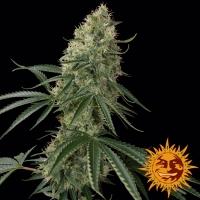 Sin Tra Bajo Auto Feminised Cannabis Seeds | Barney's Farm