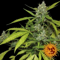 Sweet Tooth Auto Feminised Cannabis Seeds | Barney's Farm